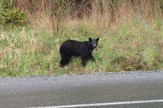our black bear